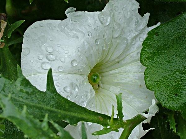 Raindrop Flower by MidnightMaya