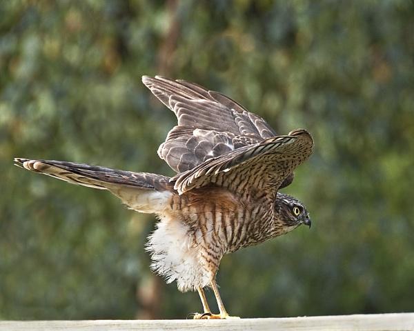 Sparrow Hawk by trevaze