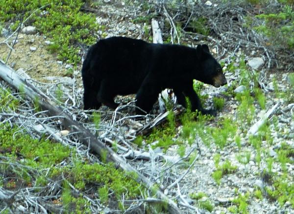 Black Bear by Paulbee