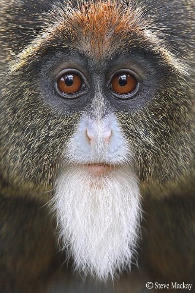 De Brazza\'s monkey (c) by SteveMackay