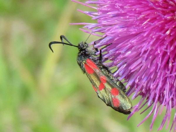 burnet moth on thistle head by bilgerat