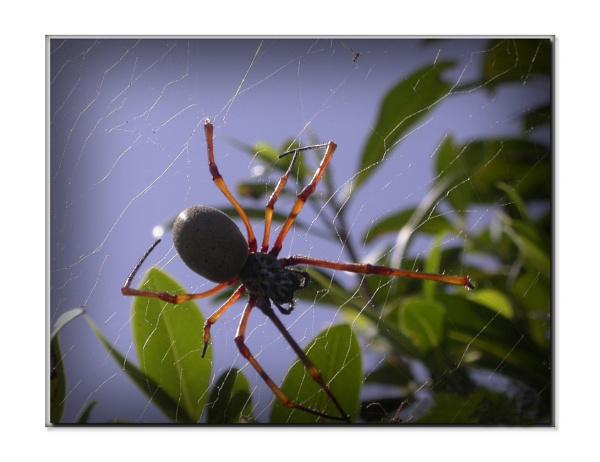 Arachnoides by lazgal