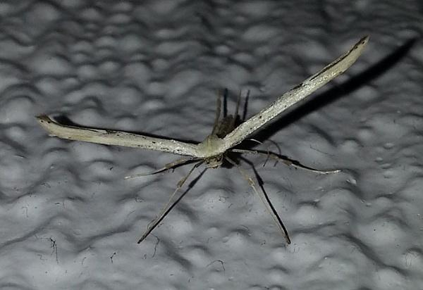 Emmelina monodactyla (Plume Moth) by leecool