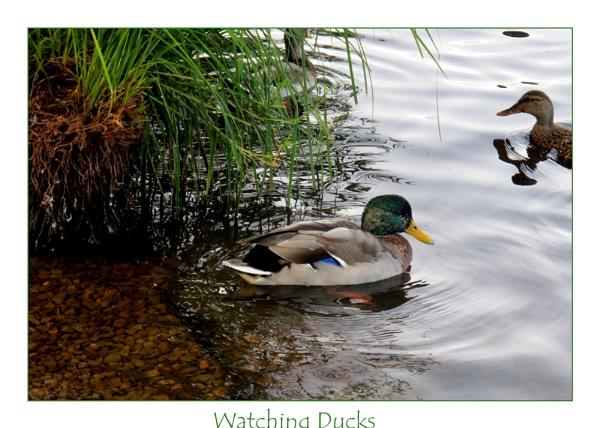 Sitting Ducks by Mavis