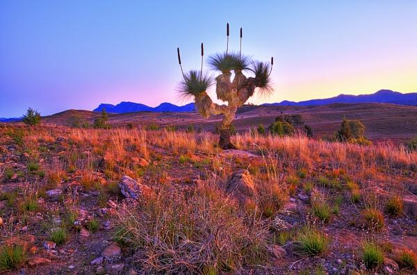 Grass Tree at Twilight-HDR by STOCKSHOTS4U