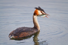 Great Crested Grebe with Perch 2