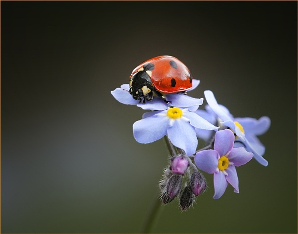 Ladybird and Forgetmenot. by Graham_P