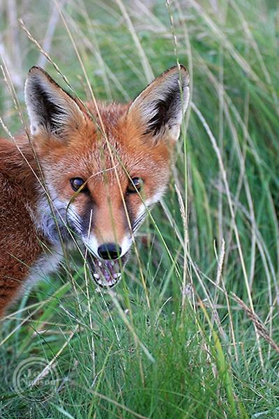Hide and Seek. Fox cub. by jocneilson