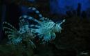 Philippine Lion Fish by photophantom