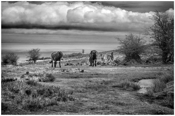 Exmoor ponies by malleader