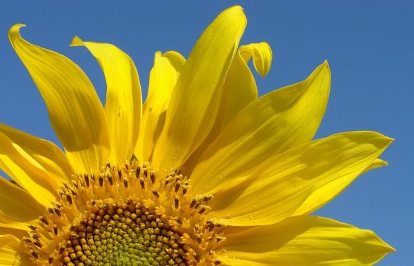 Sunflower by jdenman