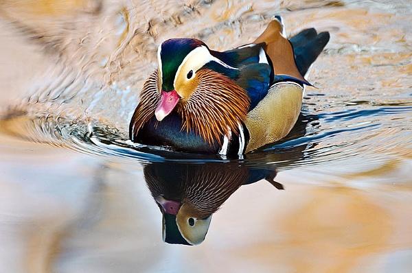 Mandarin Duck by icphoto