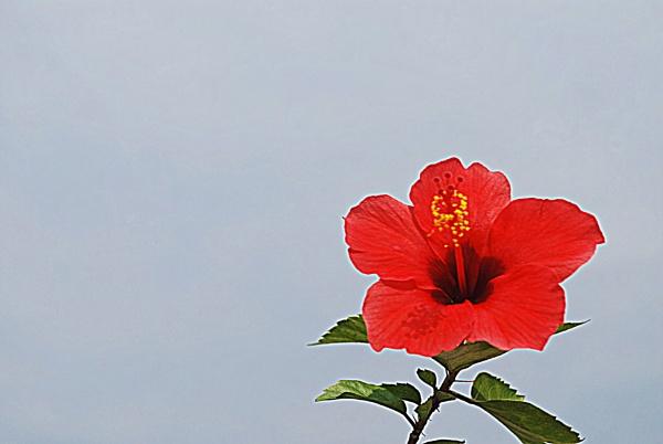 HIBISCUS FLOWER by amitav