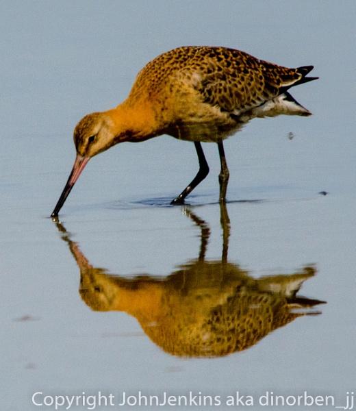 Godwit  foraging by JohnJenkins99