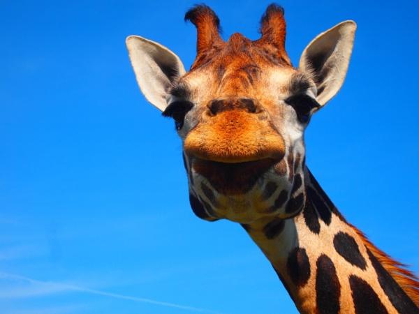 Gina the Giraffe by janiekinns