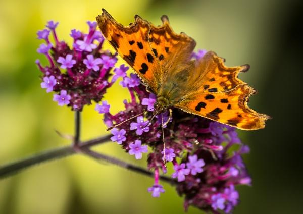 Comma Butterfly by allan64