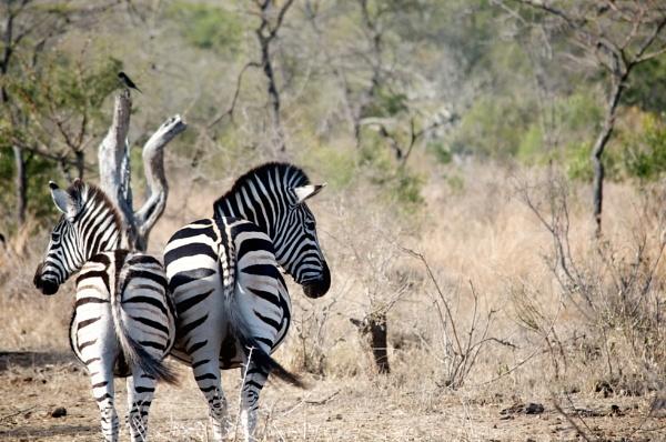 Zebras by janenewhitty