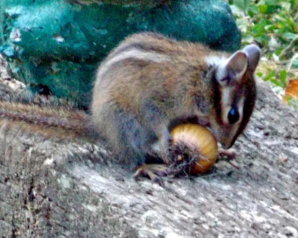 Chipmunk Lunch by lonnieo