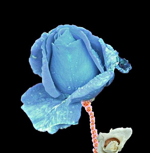 Rose of Roses by MidnightMaya
