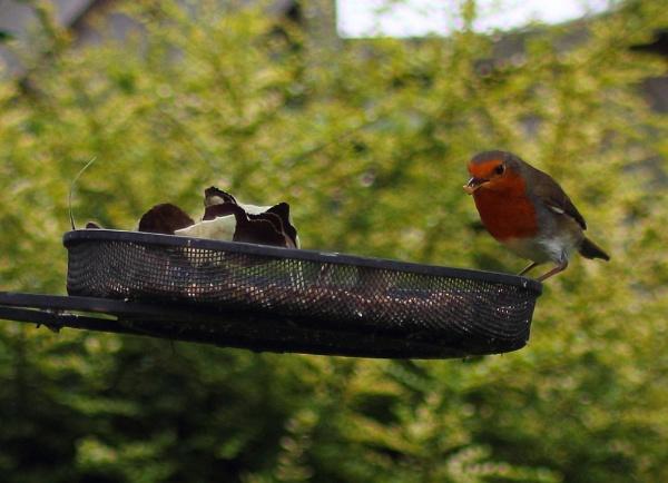 Robbin\' the bird table! by HuddersfieldHil
