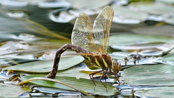 Brown Hawker Dragonfly - Female Laying Eggs by bobrobson