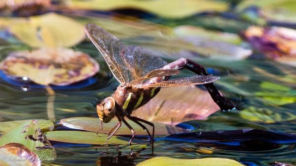 Brown Hawker Dragonfly -female by bobrobson
