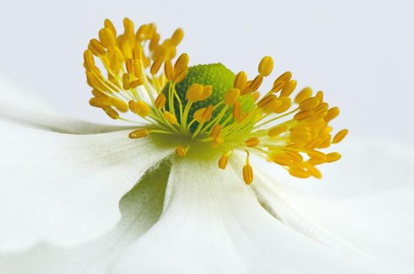 Japanese Anemone \'Honorine Jobert\' by flowerpower59