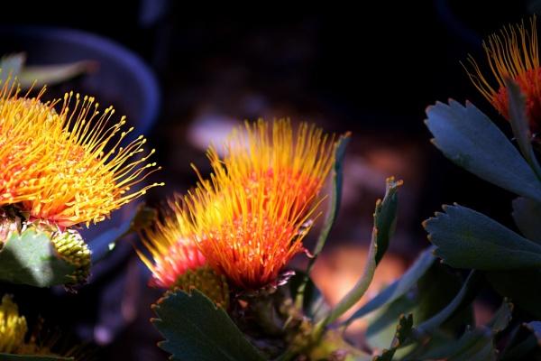 Pincushion protea by fotobee