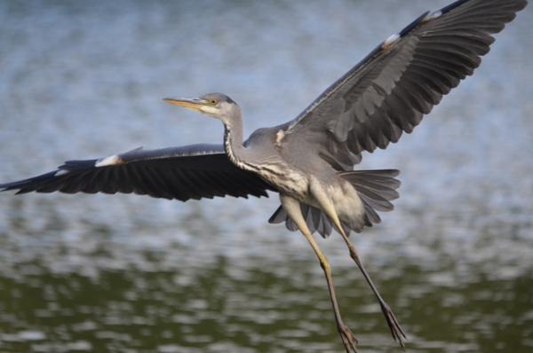 Grey Heron by stevec5881