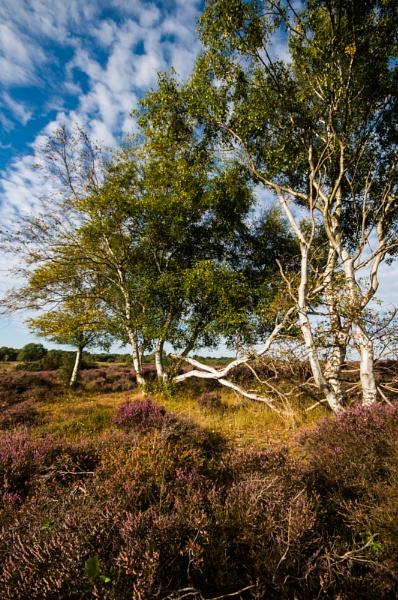 Crossed Birches by StuartAt
