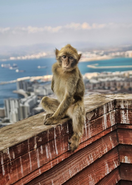 Gibraltar Barbary Macaques Monkey by jowilde