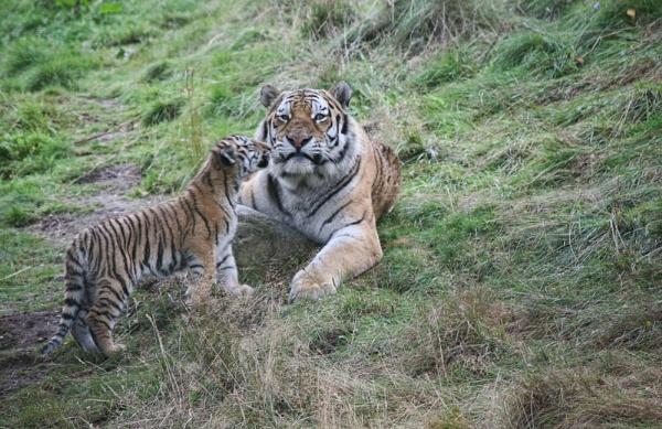 Tiger & Cub by UKmac