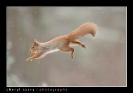 Daredevil Squirrel