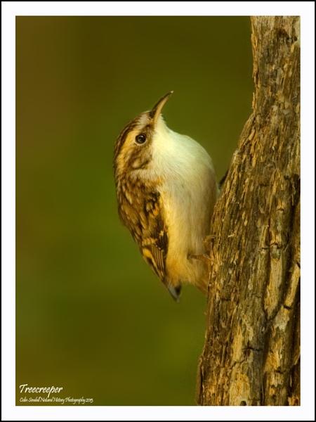 Treecreeper by Norfolkboy