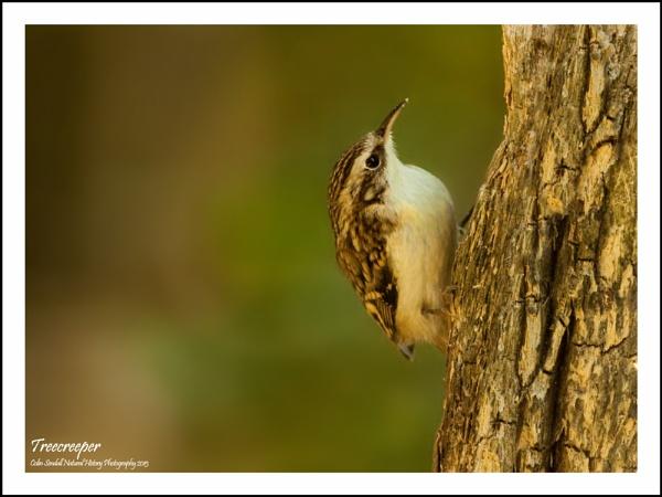 Treecreeper #2 by Norfolkboy