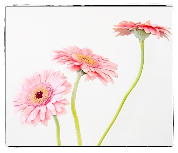 Pink Gerbera by SueEley