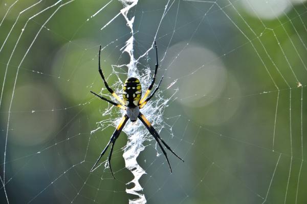 Garden Spider by WaltP