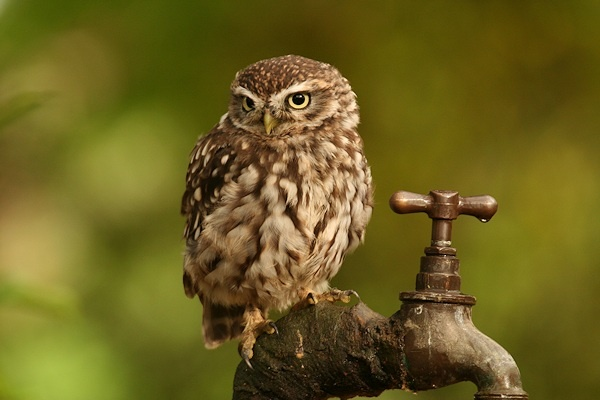 Tap Dancing Little Owl by jbailey