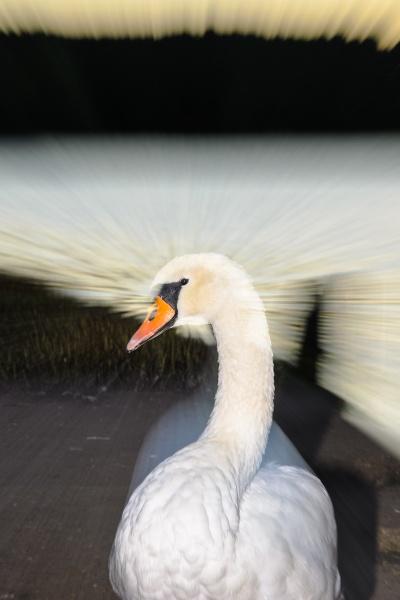 Splendid Swan by Sharpshooter777
