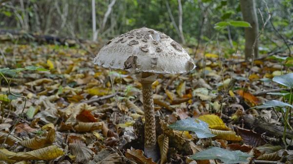 Macrolepiota procera, Parasol Mushroom