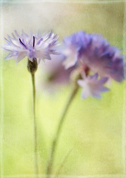 cornflower colourwash by JanieB43