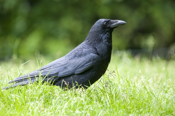 Carrion Crow by richmowil