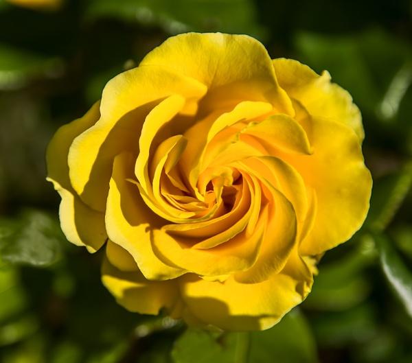 Yellow Rose by GordonLack