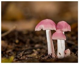 Pink Bonnets