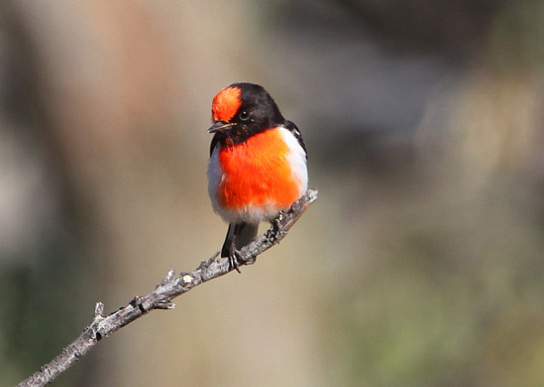 Red-capped Robin (Petroica goodenovii) by wildlifephotographer