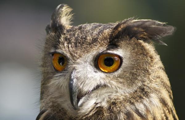 European Eagle Owl by DilysT