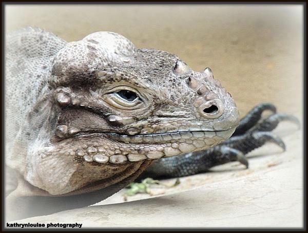Rhinocerous Iguana by kathrynlouise