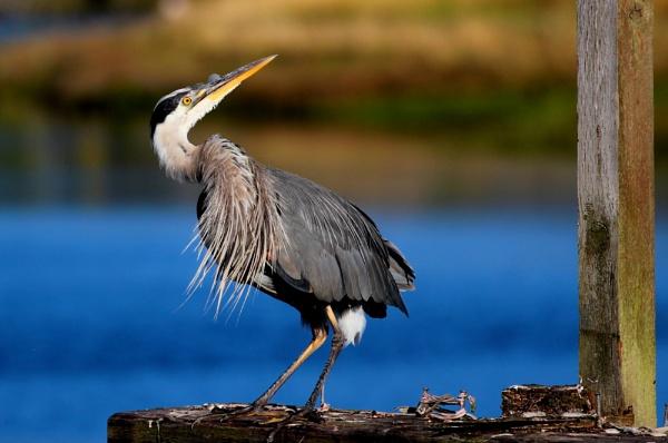 Heron  Lookback by tonyguitar