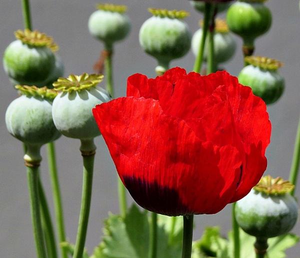 Poppy Pods by Hermanus