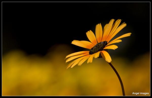 Golden tones by ColleenA